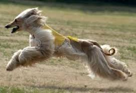 afghan hound puppies youtube afghan hound breed information and pictures on puppyfinder com