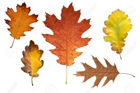 collage with various colorful autumn leaves of oak trees stock