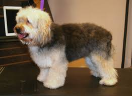 yorkie poo haircut yorkie poo groomer to groomer pet grooming news stories and