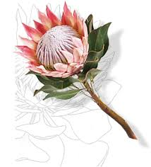 Protea Flower South Africa - national symbols culture arts and traditional affairs