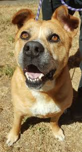 american pitbull terrier webbed feet lake county news california helping paws labs shepherds and