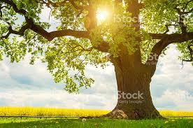 single oak tree in canola field in sunlight stock photo
