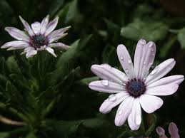 south african native plants how to grow african daisies osteospermum