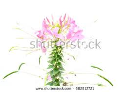 Cleome Flower - pink cleome spider flower isolated on stock photo 43543741