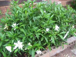 help with gardenia grow lilacs spring northern trees grass