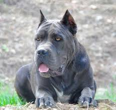 american pitbull terrier yavru 616 best cane corso images on pinterest canes animals and cane