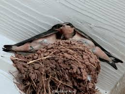 Barn Swallow Nest Pictures Hill Country Mysteries Barn Swallows Texas Hill Country Summer