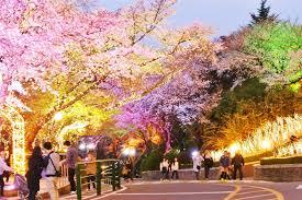 myeong dong cherry blossoms at n seoul tower namsan park near