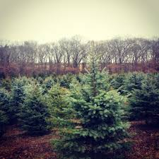 christmas trees u2014 lewin farms homepage