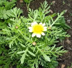 native edible plants shungiku also called shabu shabu or broadleaf greens or chop suey