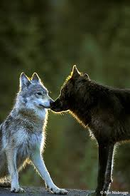 photos of wolves black phased and gray timber wolf denali