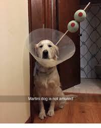 Hyper Dog Meme - martini dog is not amused dog meme on me me