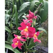 orchid plants for sale buy orchids online and live orchid plants for sale