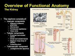 Kidney Anatomy And Physiology Video Renal Physiology Ppt Video Online Download