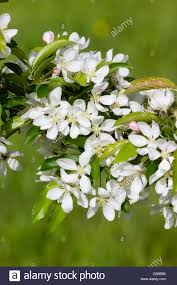 white flowers of the ornamental crab apple tree malus