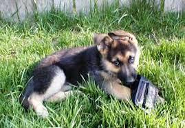 choosing a german shepherd puppy choosing a gsd puppy