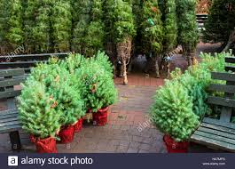 small stone pine pinus pinea christmas trees in red pots and
