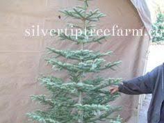silvertip tree photo 100 1668 1 jpg winter