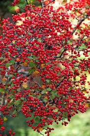 native chinese plants enjoy a native berry producer each winter mississippi state