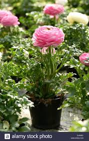 Flower Pot Sale Potted Pretty Fresh Pink Buttercup Or Ranunculus In A Plastic