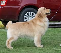 Comfort Golden Gemstar Golden Retrievers And Comfort Kennel Golden Retriever