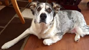 60 lb australian shepherd buddy the obese dog loses 100 lbs