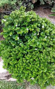 carissa macrocarpa u0027boxwood beauty u0027 village nurseries