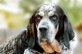 bluetick coonhound gascon bluetick coonhound dog breed information pictures