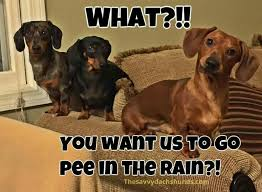 Dachshund Meme - this is the look my trio gives me daschunds pinterest