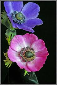 anemone flowers mic uk a up view of the anemone