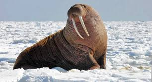 obama u2014 walrus sympathizer u2014 visits alaska chicago tribune