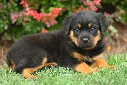 bichon frise breeders in pa rottweiler puppies for sale in pa lancaster puppies