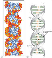 22 7 dna replication the double helix and protein synthesis
