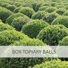 English Box Topiary - box topiary balls topiary plants from impact plants