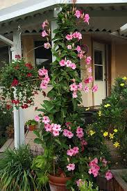 Climbing Plants That Flower All Year - i already have this growing in my front yard loves full sun