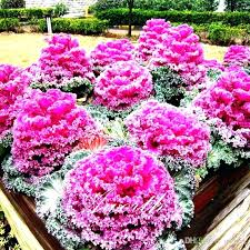ornamental kale plant ornamental cabbage ornamental kale plant care