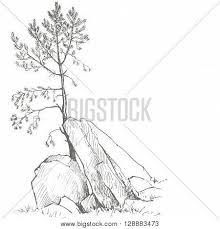 young pine tree rocks drawing by vector u0026 photo bigstock