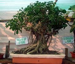 five reasons to buy a bonsai tree