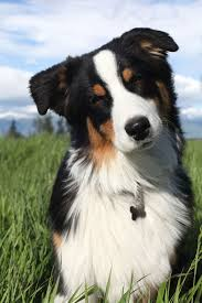 australian shepherd yahoo answers a definitive ranking of the 25 absolute cutest dog breeds
