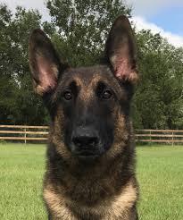 belgian shepherd edmonton belgian malinois executive protection falco k9 home facebook
