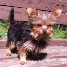australian shepherd yorkshire terrier mix chorkie chihuahua and yorkshire terrier mix