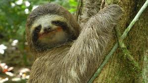 4 toed sloth three toed sloth the slowest mammal on earth nature on pbs