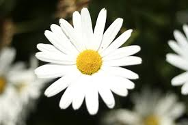 white flower file big white flower detailed photo jpg wikimedia commons