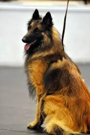 belgian sheepdog brown colonial belgian tervuren fanciers