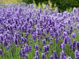 cottage garden flowers hgtv