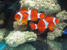 marine ornamental fish invertebrate breeders view topic