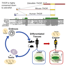 how defeating thor could bring a hammer down on cancer lncrna blog