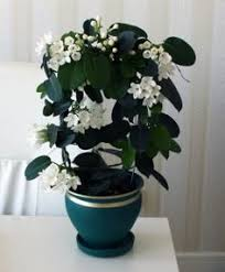 Fragrant Indoor House Plants - how to maintain indoor jasmine plants jasmine plant jasmine and