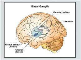 Thalamus Part Of The Brain Big Brain The Origins And Future Of Human Intelligence