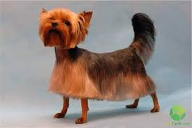 yorkie teddy bear face haircut best dog haircuts all about keeping your dog s look trendy and